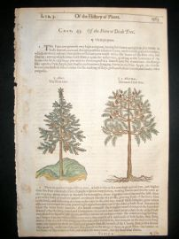 Gerards Herbal 1633 Hand Col Botanical Print. Fir Tree with Pines